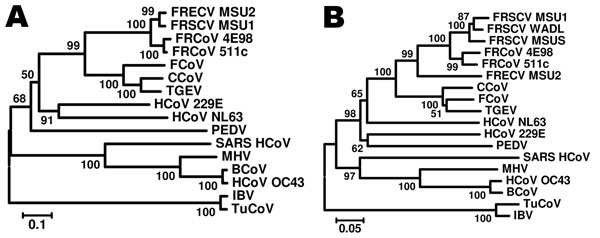 Phylogenetic tree based on nucleotide sequences of the nucleocapsid (A) and spike gene (B) of ferret coronaviruses (FRCoVs) 4E98 (GenBank accession nos. JF260916 and JF260914, respectively) and 511c (accession nos. JF260915 and JF260913, respectively) and other coronaviruses (CoVs). Partial nucleotide sequences were aligned by using ClustalX (www.clustal.org) and a neighbor-joining Kimura 2-parameter model with 1,000 bootstrap replicates; avian CoVs were used as outgroup sequences (p-distance; a