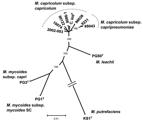 Phylogenetic tree of the Mycoplasma mycoides cluster, including the isolate from markhor (Capra falconeri) 10074 (1.4) in Tajikistan, 2010, together with available M. capricolum subsp. capricolum strains, as well as type strains corresponding to other species or subspecies from this cluster and M. putrefaciens, used as outgroup. The tree, derived from distance analysis of 5 concatenated protein-coding sequences (fusA, glpQ, gyrB, lepA, rpoB), was constructed by using the neighbor-joining algorit