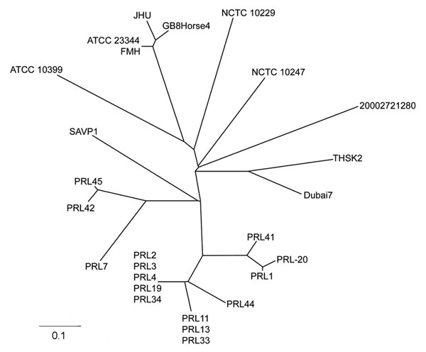 Unrooted neighbor-joining tree based on 23 variable number tandem repeat loci demonstrating the genetic relationship of the camel strain (THSK2) to other existing strains of Burkholderia mallei. The most closely related B. mallei strain to THSK2 is Dubai 7, which was isolated from a horse in the United Arab Emirates in 2004. Scale bar represents 0.1 changes.