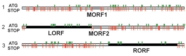 Open reading frames (ORFs) in gray fox amdovirus genome. Three possible reading frames of the plus-strand sequence with the stop codons indicated by red lines and ATG codons by green flags. Two major ORFs, left (LORF) and right (RORF), are indicated by black bars; 2 small middle ORFs (MORF1 and MORF2) are indicated by gray bars.