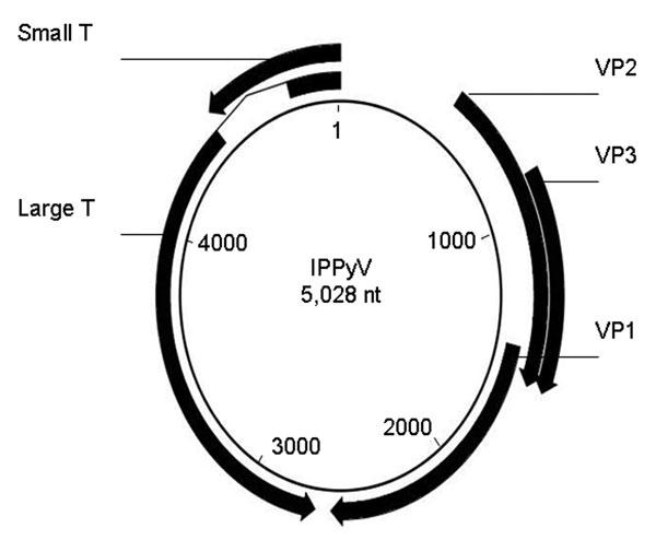 Genomic map of the circular genome of the Institut Pasteur polyomavirus (IPPyV) strain of human polyomavirus 9. Arrows indicate open reading frames. Small T, small T antigen; VP, viral protein; Large T, large T antigen.