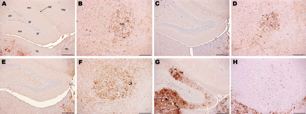 Immunohistochemical analysis of brains of host-encoded prion protein (PrP)-a mice (RIII) inoculated with (A and B) fixed material from the goat with suspected bovine spongiform encephalopathy (BSE), (C and D) fixed material from experimental goat BSE, (E and F) unfixed material from experimental sheep BSE, and (G and H) fixed material from experimental goat scrapie. No PrPSc was detected in the molecular layer of the dentate gyrus in the suspected case (A) and the BSE controls (C and E); in the