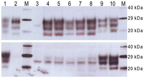 Western blot analysis of a range of murine transmissible spongiform encephalopathy–affected brain homogenates in host-encoded prion protein (PrP)–a (RIII) mice. A) Western blot probed with SHA31, 15-s exposure time. B) Western blot probed with 12B2, 5-min exposure time. M, biotinylated marker; lane 1, ovine scrapie field case; lane 2, bovine spongiform encephalopathy (BSE) field case; lane 3, unchallenged mouse; lane 4, bovine BSE-challenged mouse; lane 5, ovine BSE-challenged mouse; lane 6, cap