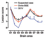 Thumbnail of Lesion profiles from VM mice after second passage of the suspected case, serial passage of an ovine bovine spongiform encephalopathy (BSE) source, and a 301V control. Profiles were made on the basis of the lesion score, which is the quantification of transmissible spongiform encephalopathy–specific vacuolation in 9 neuroanatomical gray matter areas: G1, dorsal medulla nuclei; G2, cerebellar cortex of the folia including the granular layer, adjacent to the fourth ventricle; G3, corte
