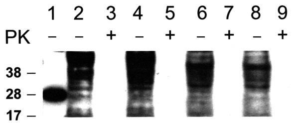Western blot of recombinant prion protein (PrP) 5 ng (lane 1), CHO cells (lanes 2–5) and Vero cell (lanes 6–9). Cells exposed to normal bovine brain and passaged 30 times (lanes 2, 3, 6, 7). Cells exposed to bovine spongiform encephalopathy agent and passaged 30 times (lanes 4, 5, 8, 9). Total PrP (cell extracts without proteinase K [PK] digestion) are shown in lanes 2, 4, 6, 8; cell extracts treated with PK are shown in lanes 3, 5, 7, 9. Western blots were probed with PrP monoclonal antibody 6D