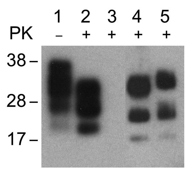 Western blot of brain extract from C57/Bl mouse inoculated with 22L mouse-adapted scrapie agent (lanes 1, 2); NIH-3T3 cells exposed to normal mouse brain and passaged 30 times (lane 3); NIH-3T3 (lane 4) and L929 (lane 5) cells exposed to 22L scrapie agent and passaged 30 times. Nonproteinase K [PK]–treated samples (lane 1), PK-treated samples (lanes 2–5). Western blots were probed with prion protein monoclonal antibody 6H4.