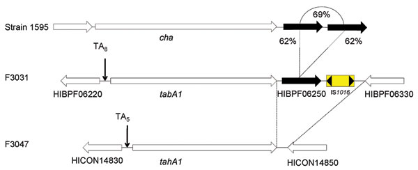 Comparison of the cha locus from Haemophilus cryptic genospecies strain 1595 to the TabA1 locus in the Brazilian purpuric fever (BPF) clone of H. influenzae biogroup aegyptius (HaeBPF) F3031 and the TahA1 locus in H. influenzae biogroup aegyptius (Hae) conjunctivitis (CON) F3047. Strain F3031 includes an additional 2 coding sequences downstream of tabA1, HIBPF06250 and IS1016, that are absent from strain F3047. HIBPF06250 is a conserved hypothetical protein with homology (62% aa identity) to the