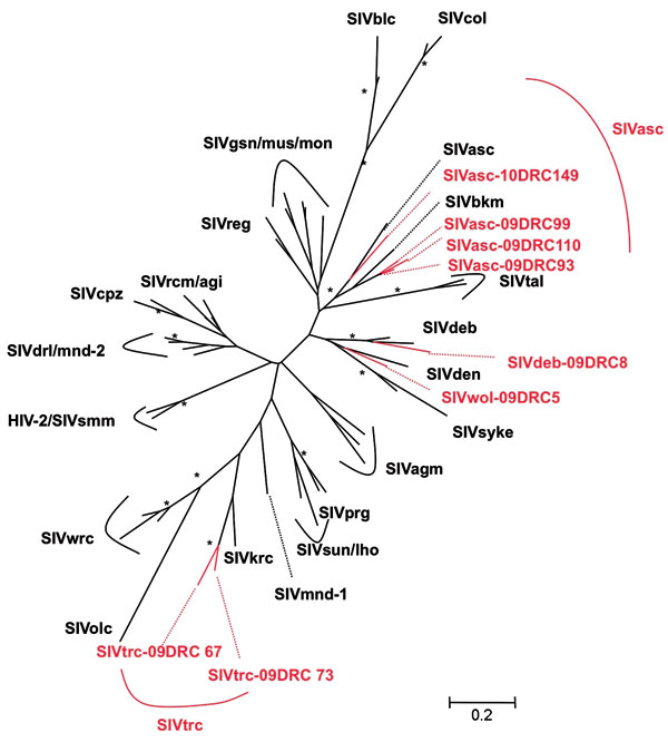 Phylogenetic relationships of the newly derived simian immunodeficiency virus (SIV) sequences in pol to representatives of the other SIV lineages. Newly identified strains in this study are in red and reference strains are in black. Unrooted trees were inferred from 350-bp nucleotides. Analyses were performed by using discrete gamma distribution and a generalized time reversible model. The starting tree was obtained by using phyML (27). One hundred bootstrap replications were performed to assess