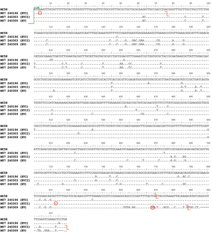 Newly identified lpxL1 mutations XV, XVI, and XVII. lpxL1 sequence data from isolates harboring each of the corresponding meningococcal capsular group Y mutations (in parentheses), England and Wales. Mutations are aligned with the full-length gene from strain MC58. All of the alleles share a common start codon (green arrow). Mutations and stop codons are denoted by red circles and red lines, respectively. Mutation XVI is a single-base deletion at nt A4 that causes a frame shift resulting in a pr