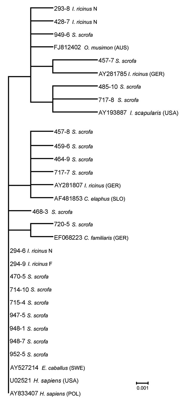 Phylogenetic relationships based on Anaplasma phagocytophilum 16S rRNA gene fragment sequences obtained from wild boars and engorged Ixodes ricinus ticks and selected sequences from GenBank. The scale bar indicates an evolutionary distance of 0.001 nt per position in the sequence. Inference was made by using the neighbor-joining algorithm method (Vector NTI Advance 10.3.0; Invitrogen Corp., Carlsbad, CA, USA).