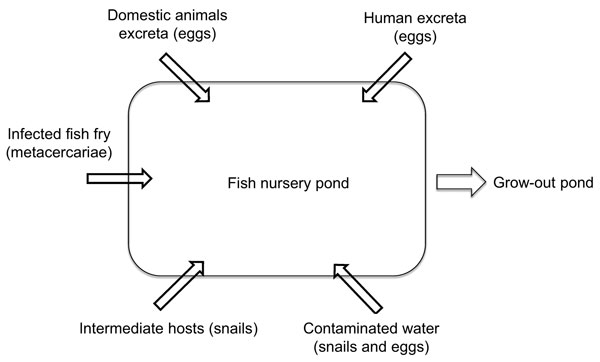 Main risk factors for transmission of fish-borne zoonotic trematodes in fish nurseries, Vietnam. Each risk factor (arrow pointing into pond) is also an intervention point.