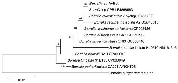Phylogenetic tree drawn from an alignment of the 1206-bp 16S rRNA gene specific to Borrelia spp. by using the minimum evolution method. Bootstrap values are indicated at the nodes. Scale bar indicate the degree of divergence represented by a given length of branch. Boldface indicates the position of Borrelia sp. AvBat in the phylogenetic tree.