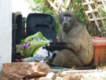 Thumbnail of Baboon raiding a dustbin in the residential suburbs of Cape Town, South Africa.