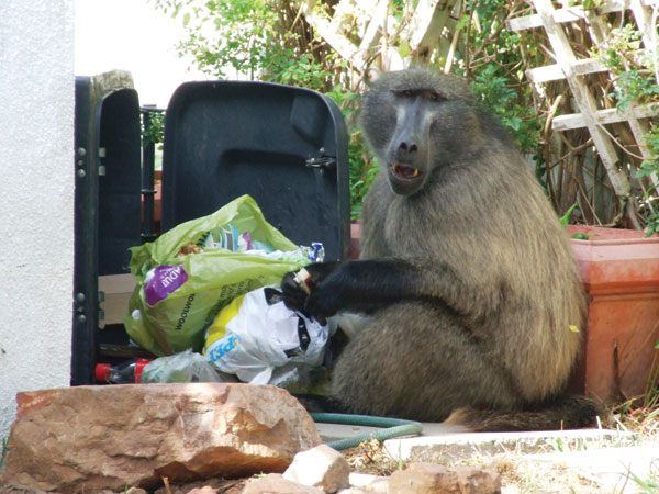 Baboon raiding a dustbin in the residential suburbs of Cape Town, South Africa.