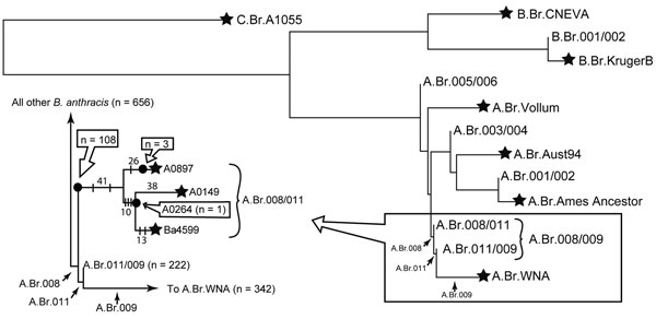 Phylogenetic location of the heroin Ba4599 genome on the global Bacillus anthracis phylogenetic tree (1). Ba4599 was isolated from a heroin user who died of anthrax at the beginning of the 2009–2010 European anthrax outbreak. Canonical single nucleotide polymorphism (SNP) typing situated Ba4599 within the A.Br.008/011 clade of the Trans-Eurasian group (arrows). Closer examination of the boxed area (inset) revealed that Ba4599 was closely related to 2 isolates from Turkey, A0149 and A0264. Solid