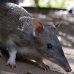 Thumbnail of Long-nosed bandicoot (Perameles nasuta). Photograph courtesy of Taronga Zoo, Sydney, New South Wales, Australia.