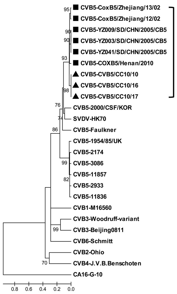 Phylogenetic analysis of selected human coxsackievirus B (CBV) strains from different origins based on the viral protein 1 gene sequences. The neighbor-joining tree was generated by using MEGA4 software (www.megasoftware.net), and the prototype strain of coxsackievirus A (CAV) 16 was used as outgroup. The Changchun strains isolated in this study are indicated by triangles and other Chinese CBV5 strains are indicated by squares. Scale bar indicates nucleotide substitutions per site.
