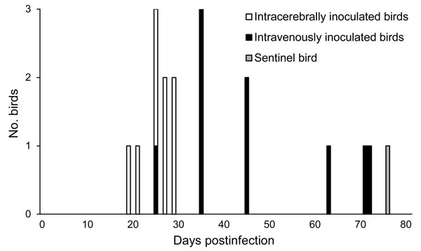 Timing of the first detection of avian bornavirus (ABV) RNA in cockatiels that had been intracerebrally or intravenously inoculated with ABV. ABV RNA was amplified significantly earlier in samples from intracerebrally inoculated birds compared with intravenously inoculated birds (α = 0.05 by using the Wilcoxon-Mann-Whitney test). A noninoculated sentinel bird, which was housed with the intracerebrally inoculated group of cockatiels, was the last bird to shed ABV RNA.