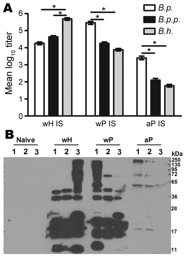 Antibody responses to whole-cell pertussis vaccine (wP), aceullar pertussis vaccine (aP), and whole-cell Bordetella holmesii vaccine (wH). A) Specific Ig titers of serum antibodies for B. pertussis (B.p.), B. parapertussis (B.p.p.), or B. holmesii (B.h.) for wH-, wP- or aP- vaccinated mice. Error bars indicate SE. *p<0.01. B) Western blots of B. pertussis, B. parapertussis, and B. holmesii lysates probed with naive serum or wH-, wP-, or aP-induced serum.