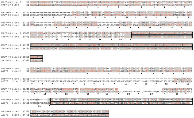 Sequence alignments of the amino acid sequences of human adenovirus (HAdV) 40 long fiber (fiber 2) with simian adenovirus (SAdV) 18 fiber (upper lines) and HAdV-40 short fiber (fiber 1) with macaque adenovirus isolate A1173 (lower lines). Gray shading indicates homologous regions, red font indicates identical residues, underlining indicates N-terminal 30 residues that constitute the tail, and boxes indicate C-terminal knob domains. Intervening shaft domains harboring varying numbers of the ≈16-r