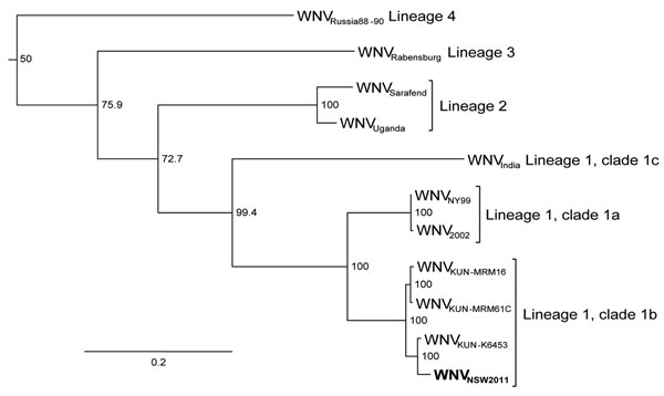 Maximum-likelihood tree based on nucleotide sequences of the complete open reading frame of genomes of West Nile virus (WNV) NSW2011 (boldface) and representative strains of WNV from the different lineages and clades. All published complete Kunjin (KUN) virus sequences are included. Bootstrap values are shown on the nodes and are expressed as a percentage of 1,000 replicates. Sequences downloaded from GenBank were WNVRussia88–90, AY277251; WNVRabensburg, AY765264; WNVSarafend, AY688948; WNVUgand