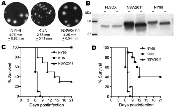 Studies of West Nile virus (WNV) properties in cell cultures and mice. A) Plaque morphology of WNVNY99, prototype WNVKUN, and WNVNSW2011 in Vero cells. Cells in 6-well plates were infected with specified virus and overlaid with 0.75% low melting point agarose in Dulbecco modified minimum essential medium (Life Technologies, Carlsbad, CA, USA) containing 2% fetal bovine serum. Four days after infection, the cells were fixed with 4% formaldehyde and stained with 0.2% crystal violet. B) Assessment