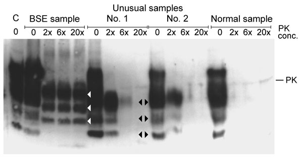 Western blot analysis of proteinase K (PK) digested brain stem samples with increasing concentrations of PK (relative to concentration used in the Prionics Check WESTERN (Prionics, Zurich, Switzerland). C, kit control, normal bovine brain homogenate; BSE, bovine spongiform encephalopathy sample from cow from Switzerland; unusual samples 1 and 2 and normal sample are from New Zealand cattle and had been confirmed as negative by several test methods (see text). Unusual samples 1 and 2 show a highe