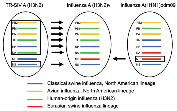 Derivation of genes segments of novel influenza A(H3N2) viruses isolated from humans, United States, 1990–2011. TR-SIV, triple reassortant swine influenza virus.