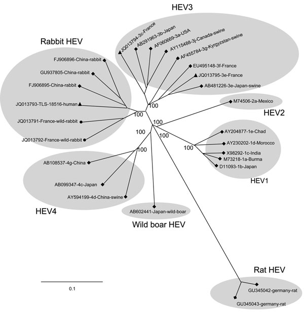 Phylogenetic tree based on full-length sequences of hepatitis E virus (HEV) rabbit strains (circles), the human strain TLS-18516 (triangles) and reference strains (diamonds). GenBank accession numbers are shown for each HEV strain used in the phylogenetic analysis. Scale bar indicates nucleotide substitutions per site.