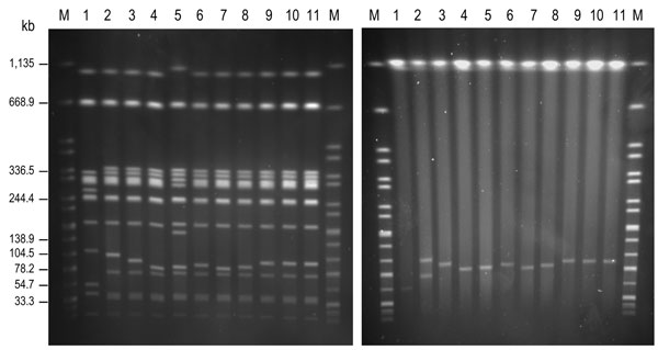 Genomic macrorestriction of Salmonella enterica serovar Enteritidis isolates: pulsed-field gel electrophoresis profiles for XbaI (left panel) and S1 (right panel). Lane M, XbaI-digested DNA of S. enterica serovar Braenderup H9812, used as size standard; lane 1, NRL-Salm-PT4; lane 2, CNM4839/03; lane 3, H051860415; lane 4, H070360201; lane 5, H070420137; lane 6, H073180204; lane 7, H091340084; lane 8, H091800482; lane 9, H095100307; lane 10, H100240198; lane 11, H101700366. The strain NRL-Salm-PT