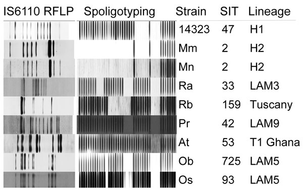 IS6110 restriction fragment length polymorphism (RFLP) patterns and spoligotypes of 7 major cluster strains, including 2 main variants of M strain, and reference strain Mt 14323. SIT, Shared International Type in SITVIT database (www.pasteur-guadeloupe.fr:8081/SITVIT).