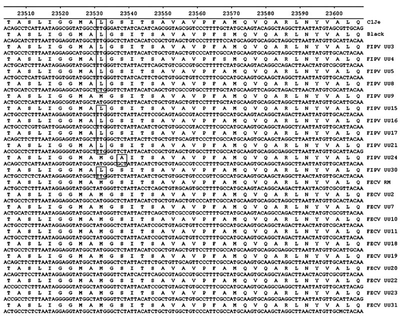 Alignment of partial nucleotide sequences and translated amino acid sequences in the spike protein of 11 strains each of 2 feline coronavirus pathotypes: FIPVs (lethal) and FECVs (nonvirulent). The viruses were sequenced in a study to distinguish virulent from nonvirulent feline coronaviruses (see Table 1). FIPV strain C1Je (GenBank accession no. DQ848678) was used as the reference for numbering. Sequence positions are shown along the top; virus strains are shown on the right. Specific differenc
