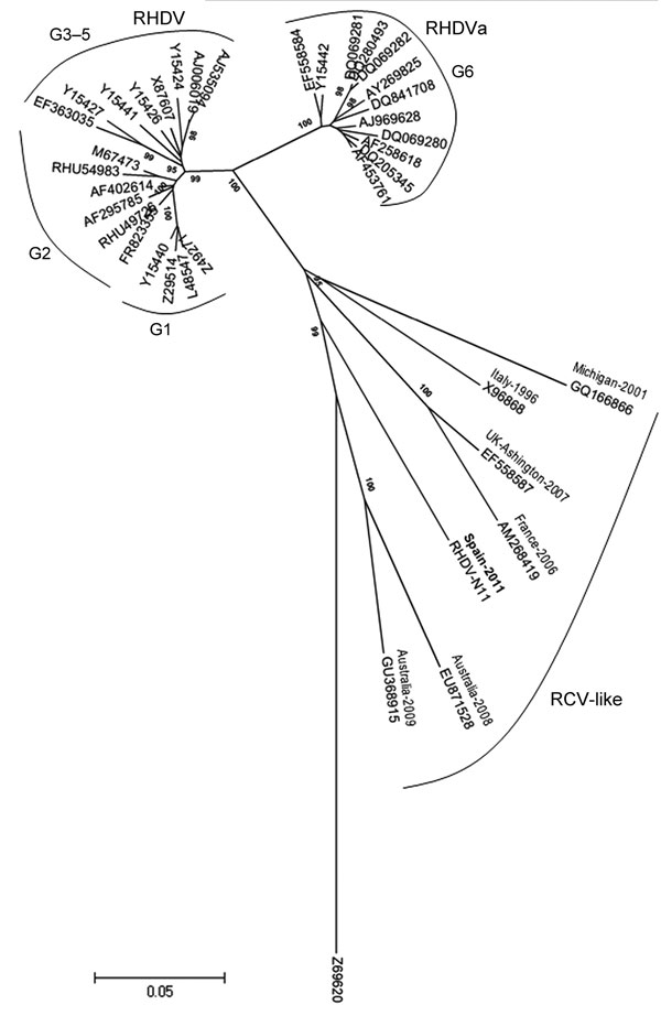 Evolutionary relationships of rabbit hemorrhagic disease virus (RHDV) and related viruses. A total of 38 nt sequences were analyzed: the isolate from this study, designated RHDV-N11 (GenBank accession no. JX133161); 18 classical RHDV and 12 RHDVa isolates; 6 rabbit calicivirus (RCV)–like isolates; and European brown hare syndrome virus (GenBank accession no. Z69620) as an outlier. Evolutionary history was inferred by using the neighbor-joining method; optimal tree with the sum of branch length =