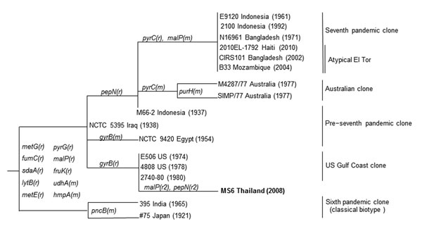 Relationships among MS6, Vibrio cholerae O1 strain, isolated in Thailand in 2008, and other V. cholerae O1 strains based on 15 housekeeping genes referenced in Salim et al. (10). Boldface indicates the MS6 strain. The mutational (m) and recombinational (r) changes with gene names are marked on the branches (r ≠ r2). Numbers in parentheses represent the year of isolation. DNA gyrase subunit B gene (gyrB) of MS6 is 22 nt differences from that of the seventh pandemic clone. Two genes of MS6, malP a