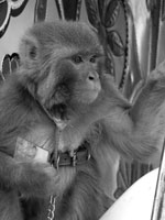 Thumbnail of Pet monkey (Macaca mulatta), Afghanistan, 2011. Photograph courtesy of Ronald Havard.