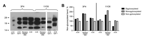 PrPSc profile of macaque-adapted BSE in comparison to human CJD. Brain homogenates from human sCJD type 1, sCJD type 2, vCJD, and BSE-infected macaques were subjected to PK treatment, separated on 12% sodium dodecyl sulfate–polyacrylamide gel electrophoresis, and blotted onto nitrocellulose membranes. A) PrPSc for human and macaque brain was detected with the widely used monoclonal antibody 3F4 or with 11C6. B) Glycoform ratio of sCJD type 2, vCJD, and macaque-adapted BSE. The relative signal in