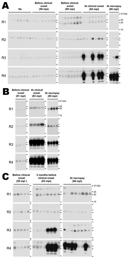 Western blot detection, using the serial protein misfolding cyclic amplification technique, of the abnormal (disease-associated) form of the prion protein (PrPSc) in concentrated saliva samples from 3 cows experimentally infected by inoculation with the agent of bovine spongiform encephalopathy: cows 5413 (A), 5444 (B), and 5437 (C). PrPSc was detected in saliva samples at the initial clinical and terminal stages of the disease (A, B). PrPSc was also detected in a saliva sample, after 3 rounds o