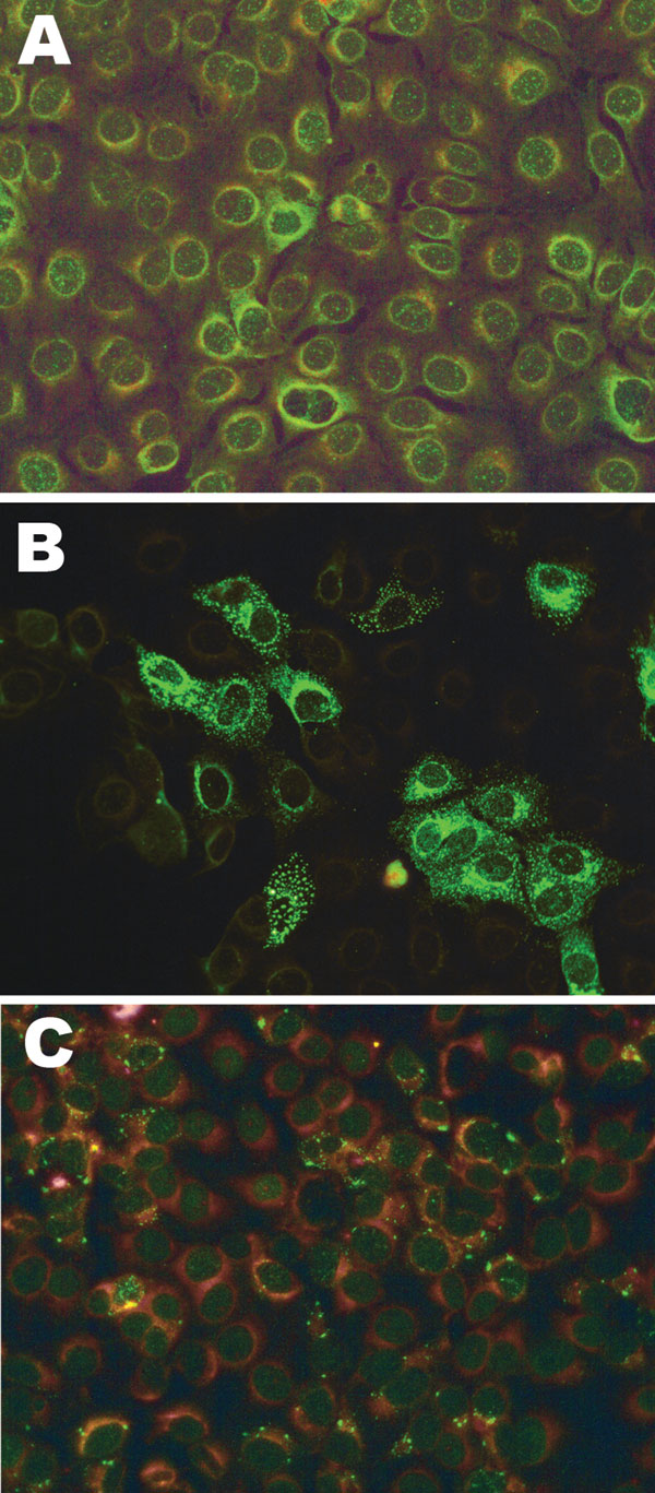 Fluorescent light microscopy images of serum samples tested for antibodies to Schmallenberg virus by indirect fluorescent antibody test on infected Vero cells mixed with noninfected Vero cells. A) Nonreactive negative serum; B) positive serum reactive with infected cells only (green); C) indeterminate serum with faint nonspecific reactivity. Colors have been enhanced to show detail.