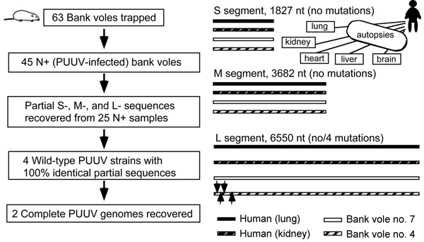 Comparison of PUUV-genome sequences recovered from human autopsies and rodent tissues. Locations of 4 silent mutations found in the L-segment sequences: G114A, U261C, A349G, and U378A are indicated by arrows (right column). PUUV, Puumala virus; S, small; M, medium; L, large; +, positive.
