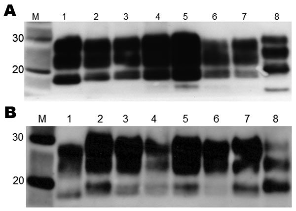 Western blot analysis of brain extracts from RIII (A) and VM (B) wild-type mice inoculated with variant Creutzfeldt-Jakob disease (vCJD) brain tissue. Lane 1, human vCJD brain homogenate (UK origin) showing the typical abnormal prion protein (PrPSc) type 2B; lane 2, United Kingdom; lane 3, The Netherlands; lane 4: Italy (cortex); lane 5, Italy (cerebellum); lane 6, France; lane 7, United States; lane 8, human sporadic Creutzfeldt-Jakob disease brain homogenate showing the typical PrPSc type 1. T