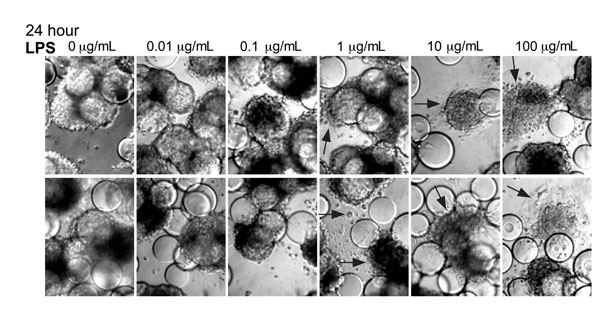 Lipopolysaccharide (LPS) induces morphologic changes consistent with cytopathic effects in Norwalk virus–inoculated 3-dimensional INT-407 aggregates. Two independent sets of light microscopy images show 3-D intestinal aggregates treated with increasing concentrations of LPS for 24 h. Arrows indicate cells (or cellular debris) that were released from the support beads. Original magnification ×20.