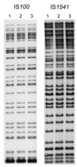 Thumbnail of Insertion sequence–restriction fragment length polymorphism profiles of 3 Yersinis pestis strains obtained during plague outbreak in Libya, 2009. Genomic DNA of strains IP1973 (lane 1), IP1974 (lane 2), and IP1975 (lane 3) were hybridized with an IS100 (after EcoRI digestion) or an IS1541 probe (after HindIII digestion).