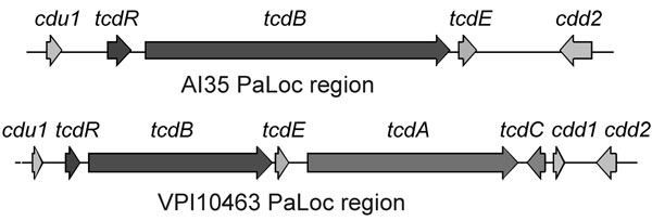Structure of pathogenicity locus (PaLoc) and flanking regions in Clostridium difficile strains AI35 and VPI10463. Boxes indicate open reading frames; arrows indicate direction of transcription. Encoded genes are indicated above the arrows. Figure not drawn to scale.