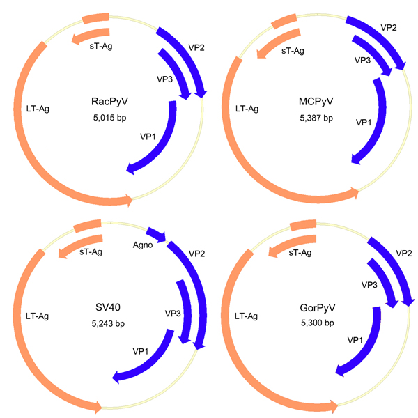 Genome organization of RacPyV. The entire dsDNA viral genome for RacPyV10 comprises 5,015 bp. The viral genome has a noncoding regulatory region and putative open reading frames for the late proteins VP1, VP2, and VP3 and the early proteins LT-Ag and sT-Ag. MCPyV and GorPyV, which are phylogenetic neighbors, and SV40 are presented for comparison. RacPyV, raccoon polyomavirus; LT-Ag, large T-antigen; sT-Ag, small T-antigen; VP, viral protein; MCPyV, Merkel cell polyomavirus; SV40, simian virus 40