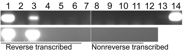 Nested PCR amplification of a subgenomic region of cDNA for hepatitis B virus, South Africa. Reverse transcribed, DNase I–treated cDNA products were amplified by PCR, and amplicons were resolved by electrophoresis on a 1% agarose gel containing ethidium bromide. Non–reverse transcribed samples (in which diethyl pyrocarbonate [DEPG]–treated water was added instead of enzyme during reverse transcription) were included as negative controls. Top panel: Lanes 1–7, nested PCR 1: 255F–759R; lanes 8–14,