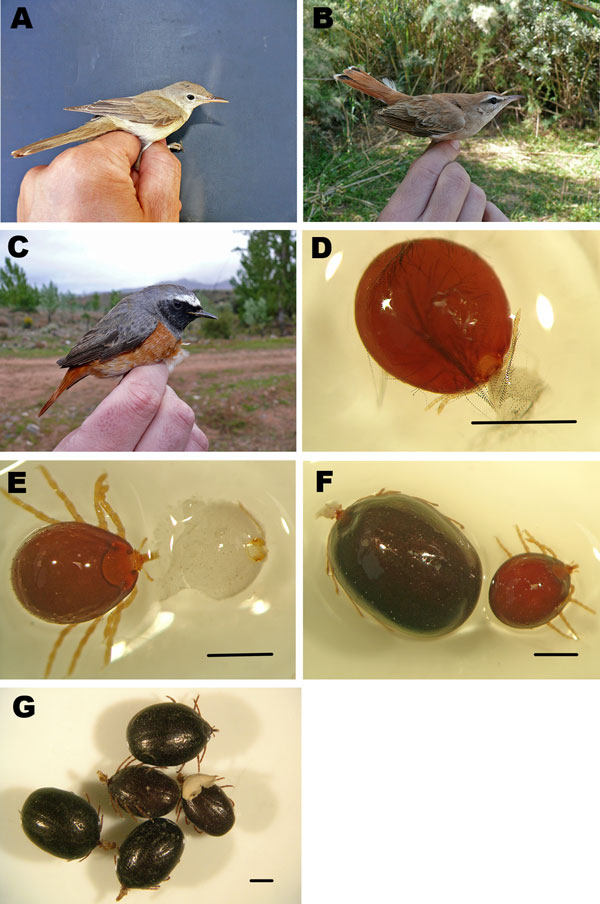 Bird species and tick specimens collected in Zouala, Morocco, April 2011. A) Iduna opaca, B) Erythropygia galactotes, and C) Phoenicurus phoenicurus birds. D–G) Hyalomma marginatum tick specimens removed from birds and preserved in alcohol: D) semi-engorged larva, E) semi-engorged nymph, F) semi-engorged and fully engorged nymphs, and G) fully engorged nymphs. Scale bars indicate 1 mm.