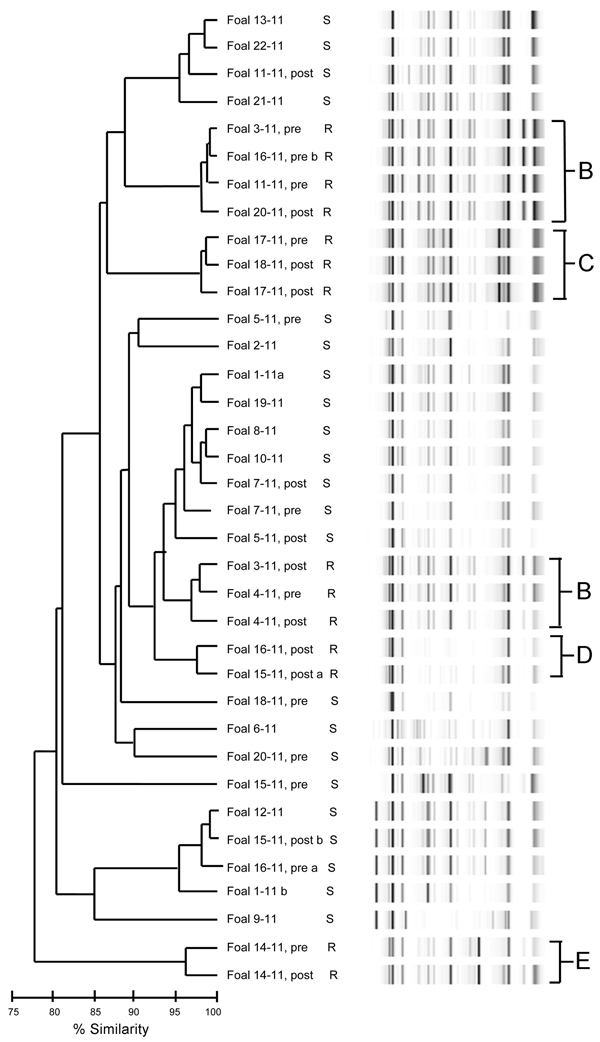 Dendrogram and virtual gel repetitive sequence–based PCR fingerprint patterns of 36 Rhodococcus equi isolates obtained from foals on horse breeding farm, Kentucky, USA, 2011. Macrolide and rifampin susceptibility (S) and resistance (R) are indicated. B–E indicates clusters of drug-resistant isolates. Foals from which pretreatment (pre) and posttreatment (post) samples were obtained are indicated. a and b indicate samples from which 2 isolates were obtained.