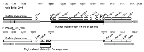 Comparison of a right-end segment from genomes of monkeypox virus (Nuria Sudan 2005 and Yandongi DRC1986. Numbers above genome map are nucleotide positions. Gray boxes represent DNA sequence identity in the 2 genomes; black represents differences. The 2 large black boxes illustrate the insertion/deletion event found in Sudan isolates 1 and 2. A region from the left end of the genome has been inserted where a portion of the right end (shown in Yandongi) has been deleted. Thin black horizontal lin