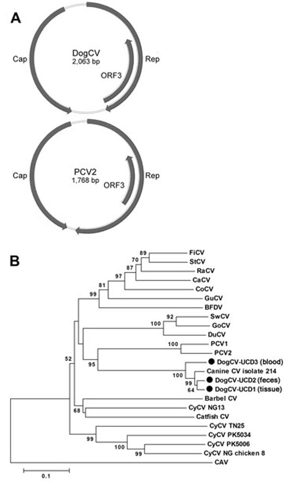 "A) Genome organization of dog circovirus (DogCV) and porcine circovirus 2 (PCV2). B) Phylogenetic analysis of DogCV strains (UCD1�?""3, isolated from tissue, feces, and blood respectively) based on the amino acid sequence of the replicate (Rep) protein. GenBank accession numbers for circoviruses used in the analysis: Finch circovirus (FiCV), DQ845075; Starling circovirus (StCV), DQ172906; Raven circovirus (RaCV), DQ146997; canary circovirus (CaCV), AJ301633); Columbid circovirus (CoCV), AF252610;"