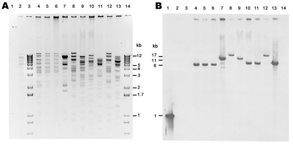 XmnI restriction analysis of New Delhi metallo-β-lactamase (NDM)–encoding plasmids, United States, April 2009–March 2011, from transformants (A) and subsequent Southern blot analysis with digoxigenin-labeled blaNDM probe hybridized to a blot of same gel (B). Lane 1, NDM PCR product, positive control; lane 2, NDM-negative plasmid (ATCC-1705); lanes 3 and 14, 1-kb plus marker; lane 4, TF 0S-506; lane 5, TF 1100770; lane 6, TF 1100975; lane 7, TF1100192; lane 8, TF 1000527; lane 9, TF 1101459; lane